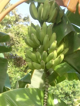 Poipu Crater Resort: These bananas were just off the lanai, but out of reach.