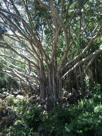 Poipu Crater Resort: This beautiful tree is on the grounds.