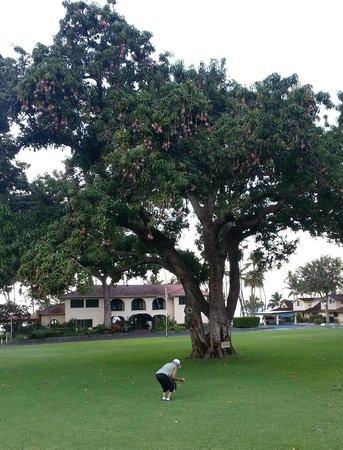 Puamana Townhomes : Mango Trees