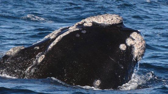 Whales Argentina : Ballena Franca