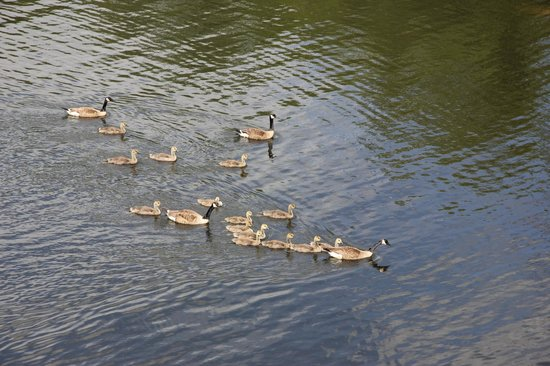 Super 8 Sturbridge: The resident Canada Geese
