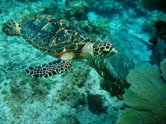 Carib Sands Beach Resort: Turtle from Charley's Reef