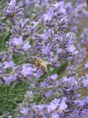 Warratina Lavender Farm: Making lavender honey
