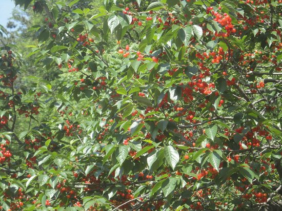 Qingdao Laoshan Beizhai Manor: cherry