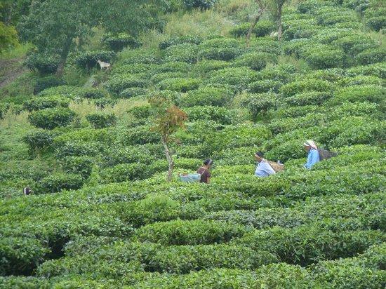 Happy Valley Tea Estate: Tea plucking in progress