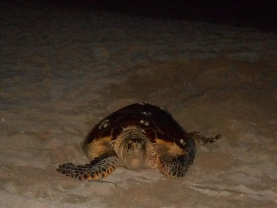 Royal St Lucia Resort and Spa: Juliette the sea turtle