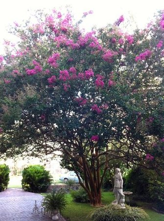 Riverside Bed and Breakfast : Beautiful crepe myrtle tree in the back yard.