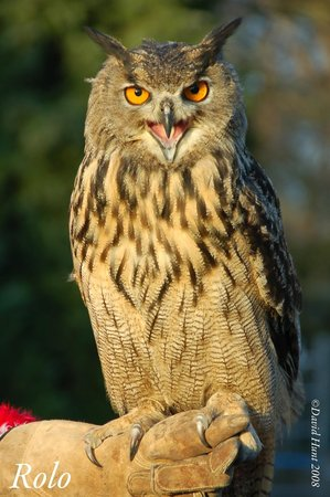 Huby, UK: Rolo european eagle owl