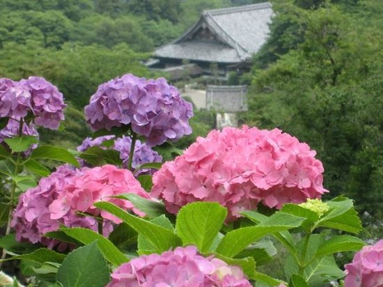 Hasedera Temple: 紫陽花