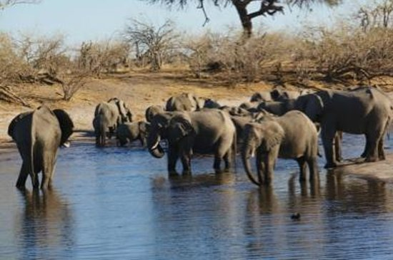 Belmond Savute Elephant Lodge: Elephants at the watering hole