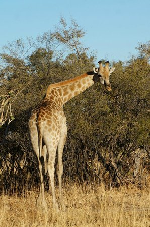 Belmond Savute Elephant Lodge: Wonderful Giraffe!
