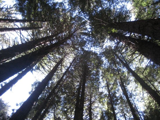 Polipoli Springs State Recreational Area: Looking up....