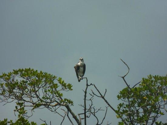 Up a Creek Kayak Tours : Female Osprey
