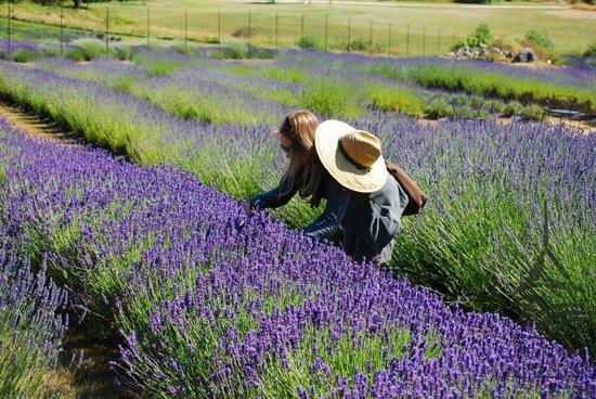Photo of Pelindaba Lavender Farm in Friday Harbor, WA, US