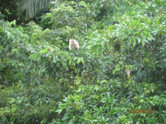 Gamboa Rainforest Resort Monkey Island Tour: monkey