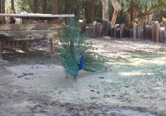 Wildlife World Zoo and Aquarium: peacock
