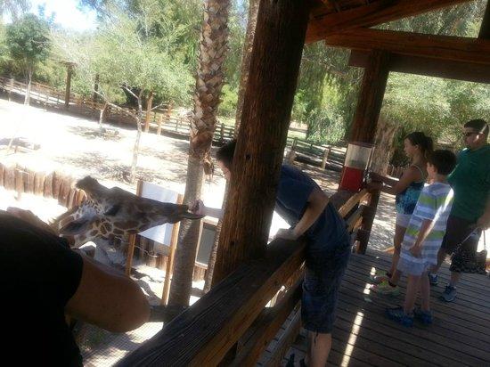 Wildlife World Zoo and Aquarium: Feeding the giraffe
