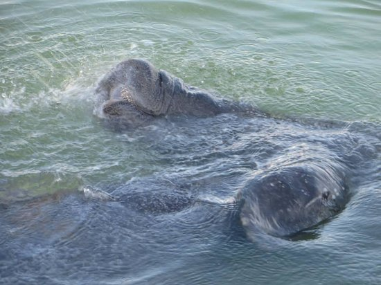 Ebb Tide Waterfront Resort: Manatees from the dock