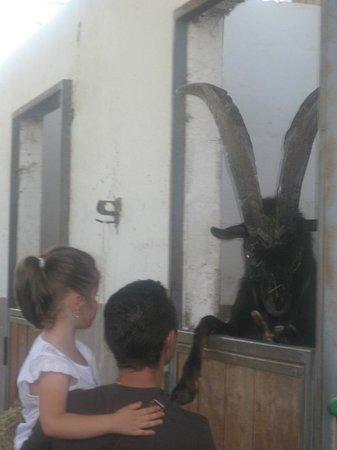 Azienda Agraria Ippogrifo : la capra vanitosa