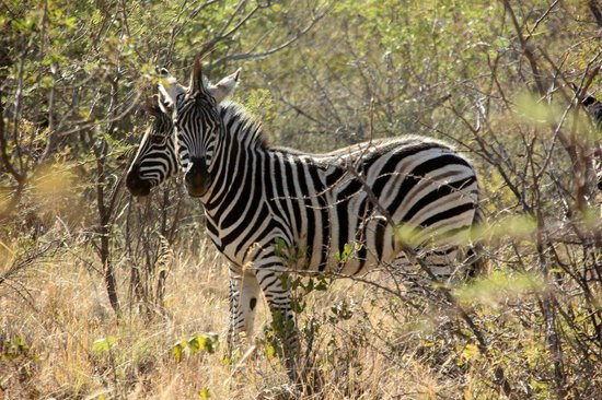 Mabalingwe - Tlou Lodge : Young zebras