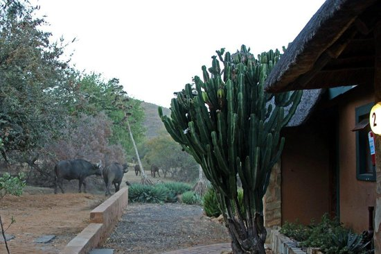 Mabalingwe - Tlou Lodge : Herd of Buffalo making their way past the rooms & entertainment centre