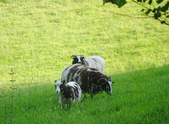 Jacob Sheep at Colly Farm