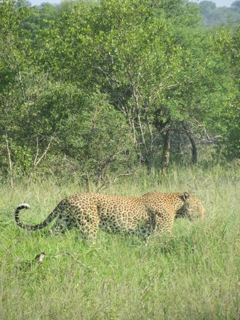 Hamiltons Tented Safari Camp: one of the leopards