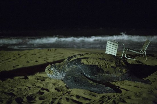 Curtain Bluff Resort: visit from a sea turtle at night