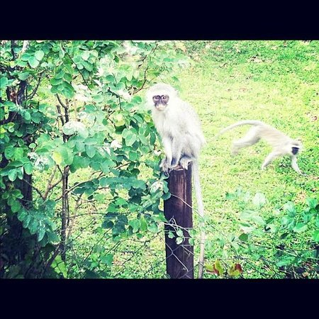 Sunset Lodge: Monkey on the Fence