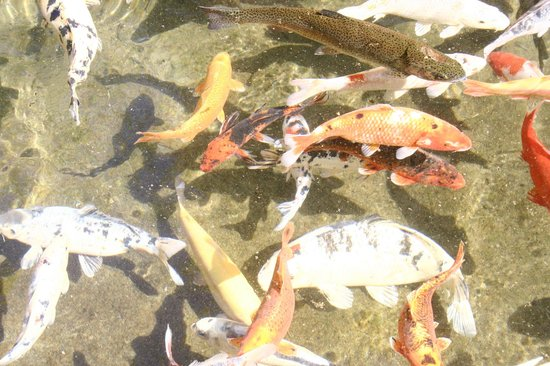 La Pisciculture du Pont de Caylus: les carpes Koi