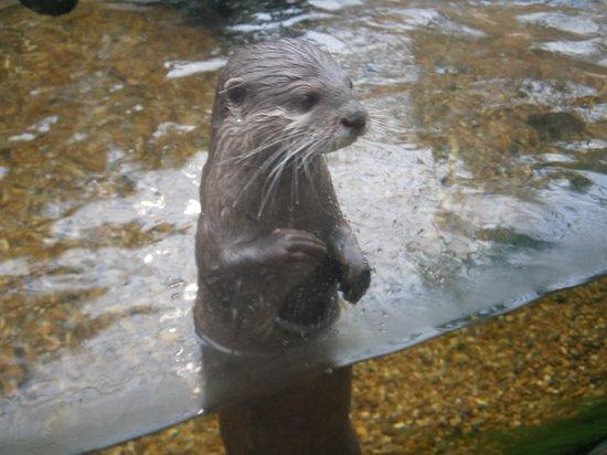 Biotropica la Serre Zoologique: LES LOUTRES TRES INTELIGENTES