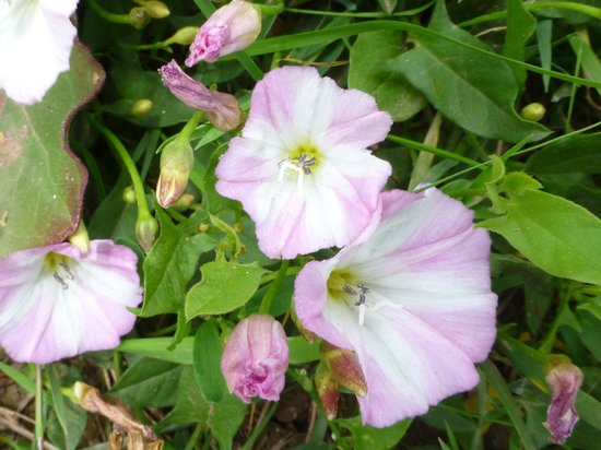 Wembury Beach: bindweed