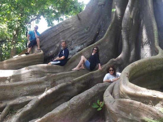 Rainforest Adventures Jamaica : The 200 year old Oak Tree.