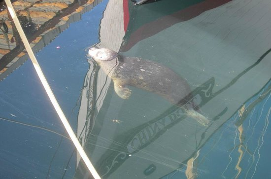 Wharfside Bed and Breakfast Aboard the Slowseason: Popeye our harbor seal