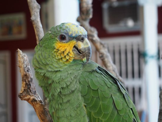Casa Relax Bed & Breakfast: Picololo the parrot at Casa Relax in Getsemani, Cartagena.