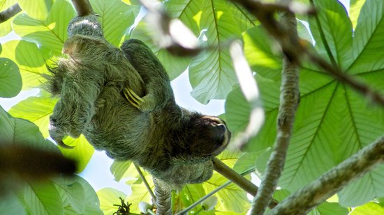 TikiVillas Rainforest Lodge & Spa: Resident Sloth
