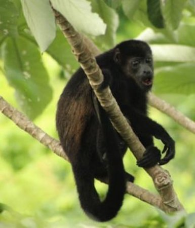Hotel Mariposario Montezuma Gardens: Howler monkey