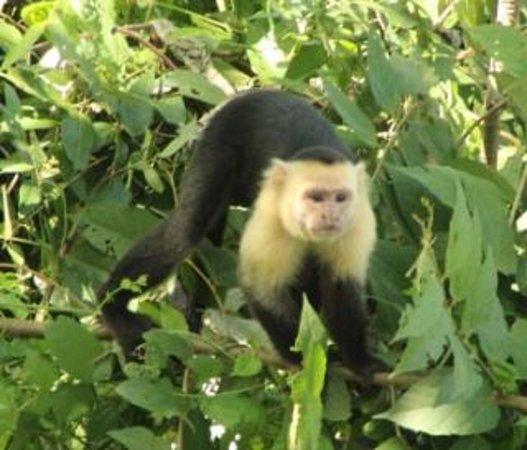 Hotel Mariposario Montezuma Gardens: Capuchin