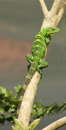 Hotel Mariposario Montezuma Gardens: Green lizard/iguana