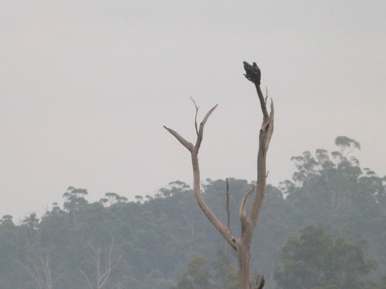 Launceston Bed and Breakfast Retreat: Visiting Wedge Tail Eagle