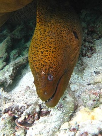 The Dive Centre - The Big Fish: Giant Moray Eel whilst diving with The Dive Center