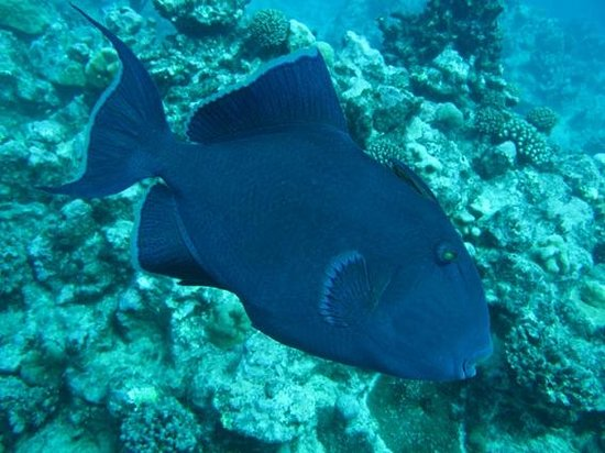 The Dive Centre - The Big Fish: Huge friendly Triggerfish followed me around most of the dive