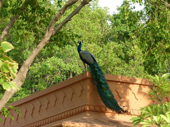 The Oberoi Rajvilas: Hotel Resident