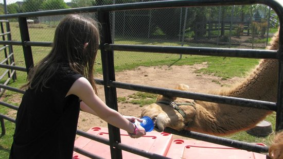 Leesburg Animal Park: Feeding the camel.