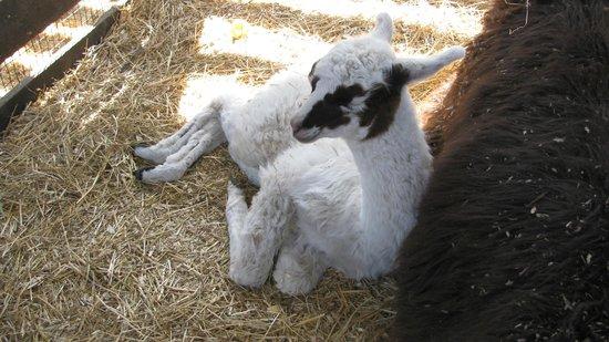 Leesburg Animal Park: baby alpaca