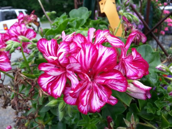 C. N. Smith Farm: They have some unusual varieties, such as this variegated geranium
