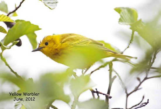 Gray Eagle Lodge: A yellow warbler