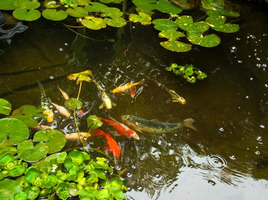 The Old Harbor Inn: Koi Pond