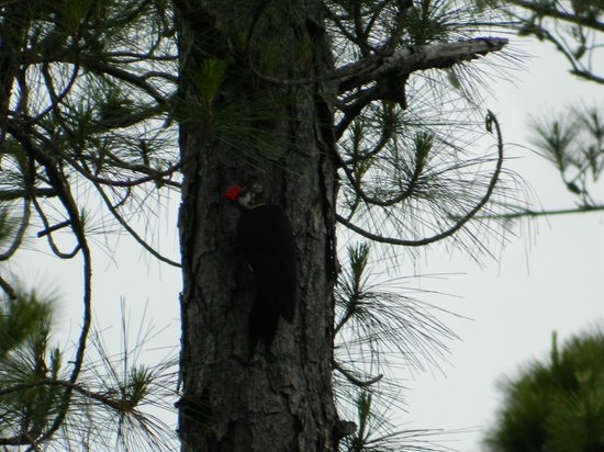 Devil's Millhopper Geological State Park: A woodpecker happily tapping away