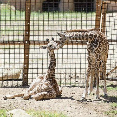 Santa Barbara Zoo: Dane and Sunshine, our two Masai Giraffe Calves